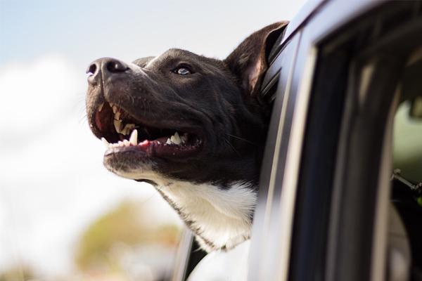 Cómo llevar a tu perro seguro en el coche cuando vayas de viaje.